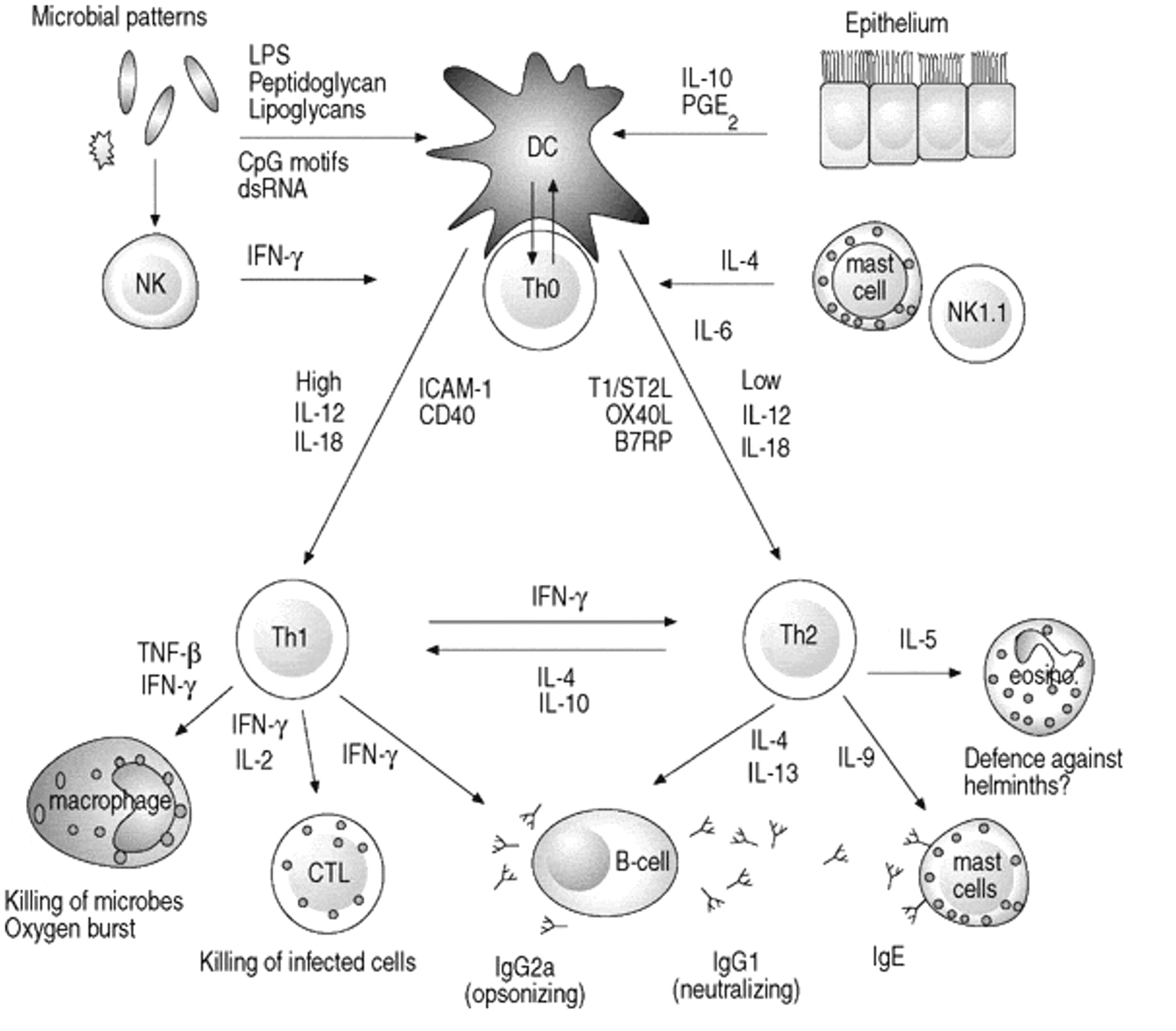 immature dendritic cells - photo #25