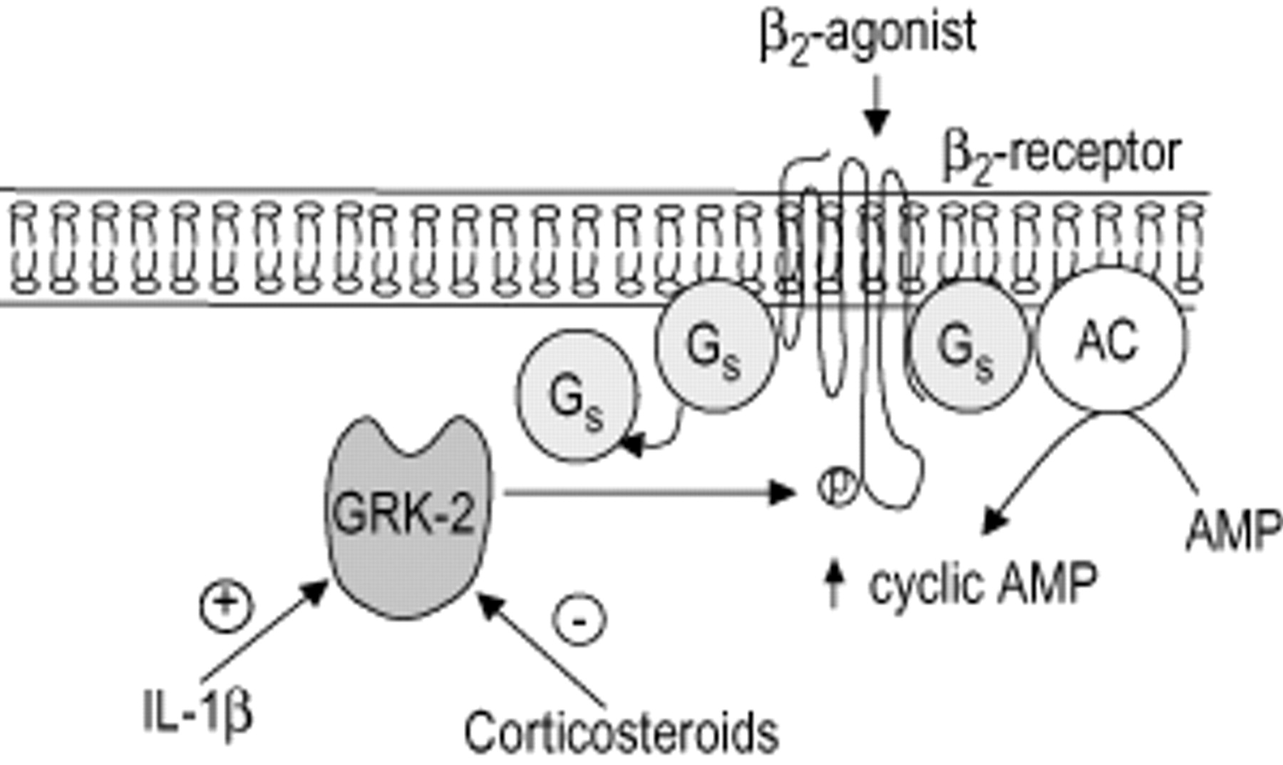 Mechanism of action of corticosteroids - Quilosa