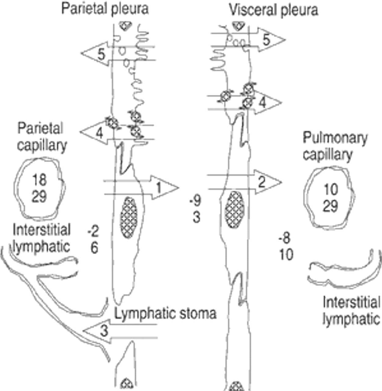 Physiology And Pathophysiology Of Pleural Fluid Turnover European