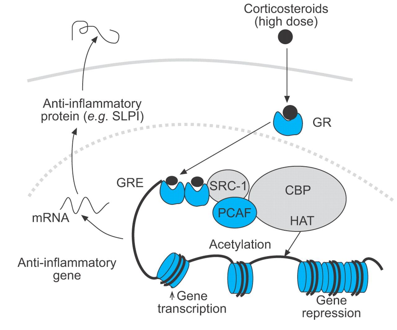 cbp a transcriptional coactivator and acetyltransferase