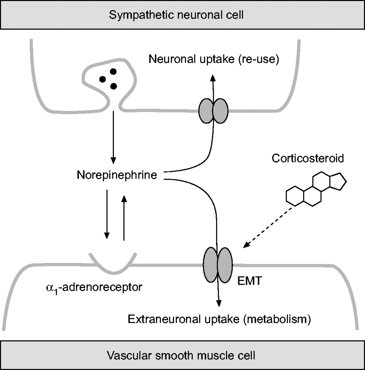 Inhaled Corticosteroids Effects On The Airway Vasculature In