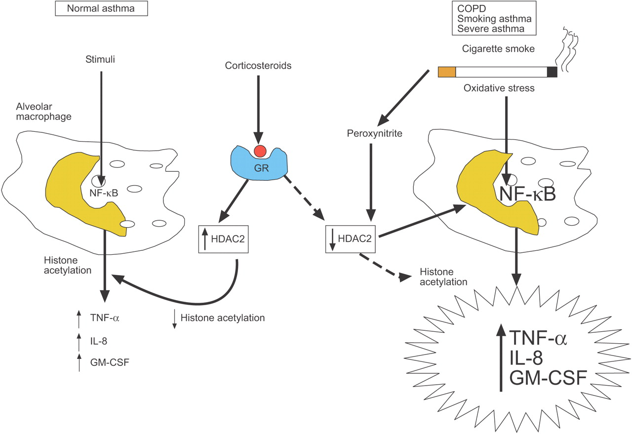 Corticosteroid effects on cell signalling | European ...