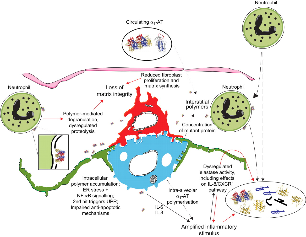 Mechanisms of emphysema in α1-antitrypsin deficiency: molecular and