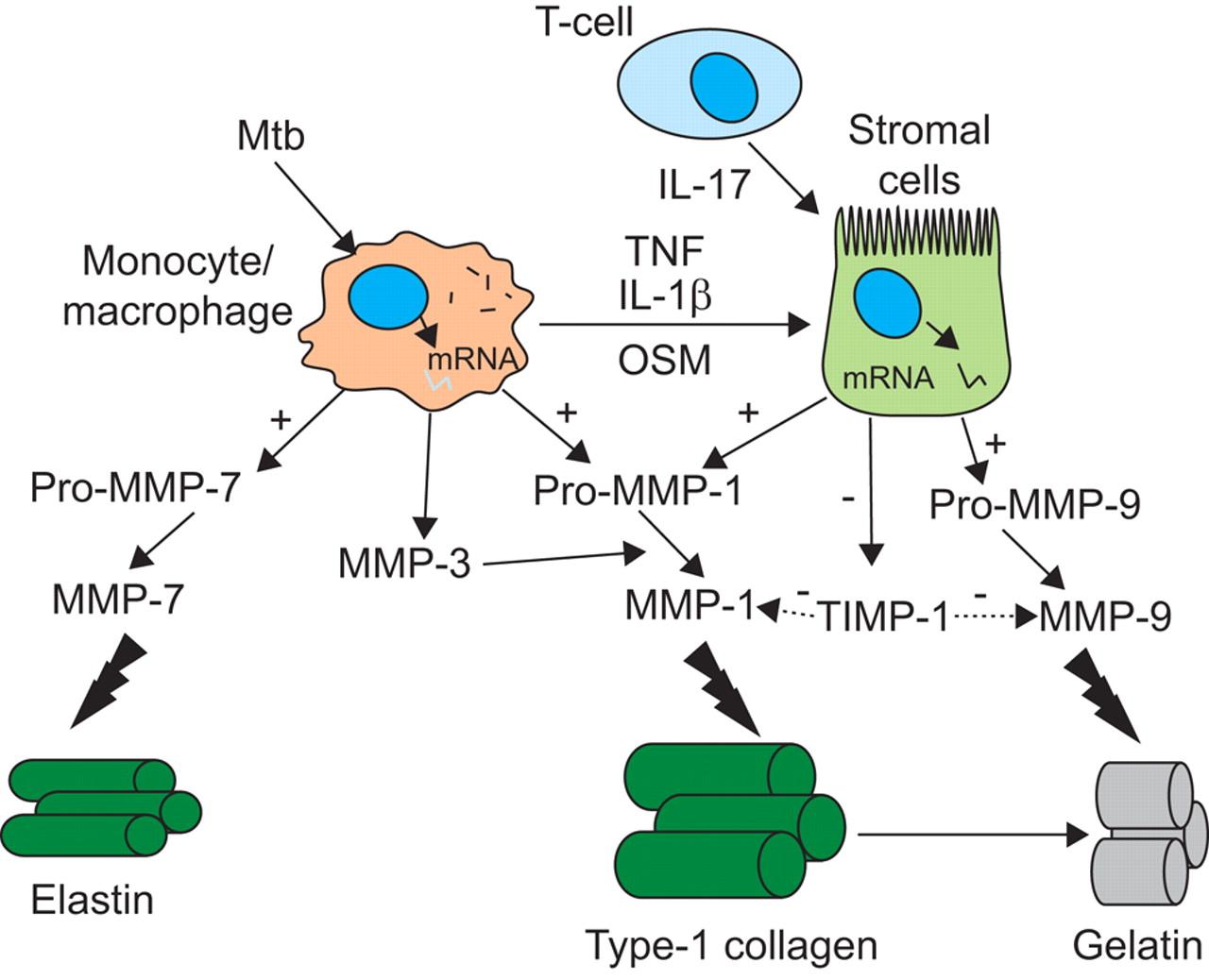 Matrix Metalloproteinases In Tuberculosis European Respiratory Society Figure Ptg Type High Frequency Generator Circuit Download