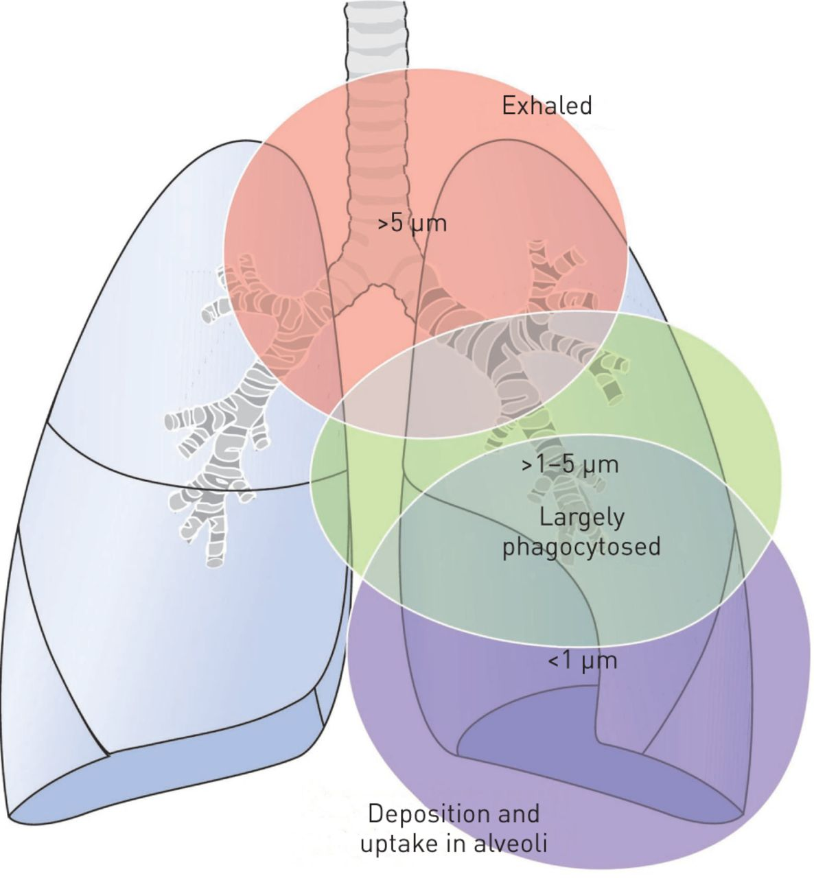 Medical Nanoparticles For Next Generation Drug Delivery To The Lungs Inhalation And Exhalation Diagram On Inhaling Exhaling Download Figure