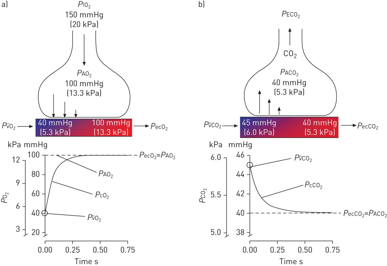 Gas Exchange And Ventilationperfusion Relationships In The Lung Exhaling Diagram Breathing Or Ventilation Download Figure