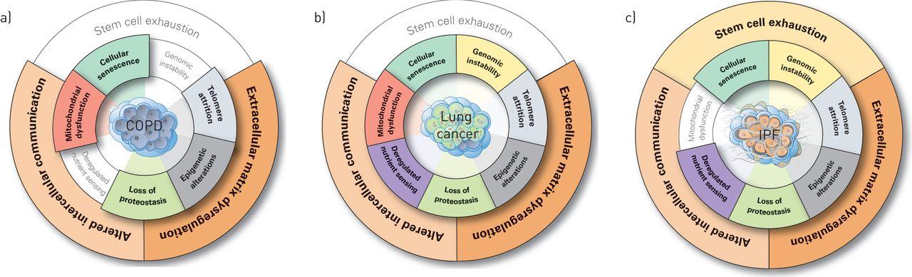 Hallmarks of the ageing lung | European Respiratory Society
