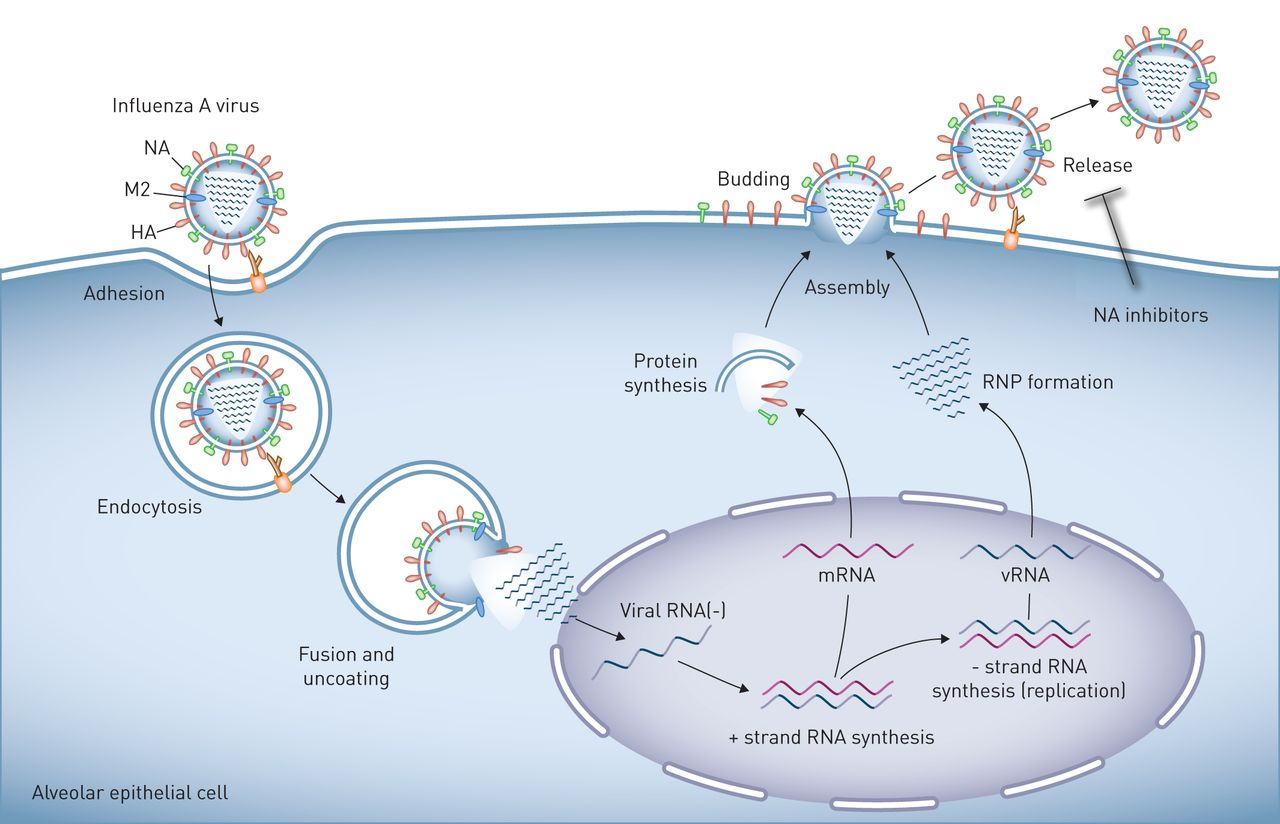 Influenza Virus Induced Lung Injury Pathogenesis And Implications For Treatment European Respiratory Society