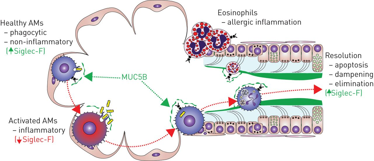 Control Of Lung Defence By Mucins And Macrophages Ancient Defence