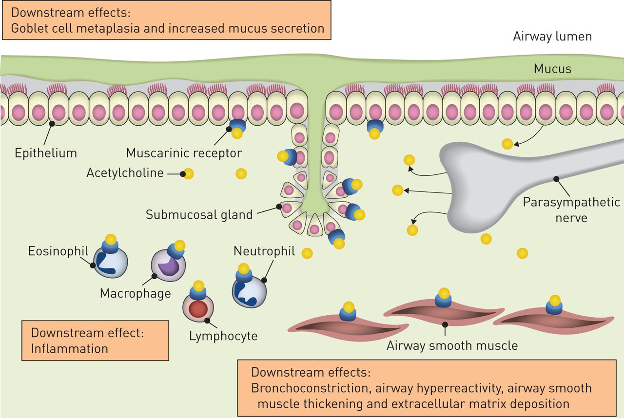 The mode of action of anticholinergics in asthma   European ...